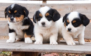 Cutest Mixed Puppy Breeds